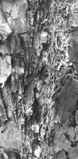 Image 4: Close-up of southern pine beetle; photo credit: Matt Bertone).